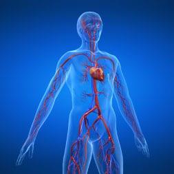 Système cardio vasculaire